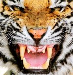 tigerdm0309_468x478.jpg
